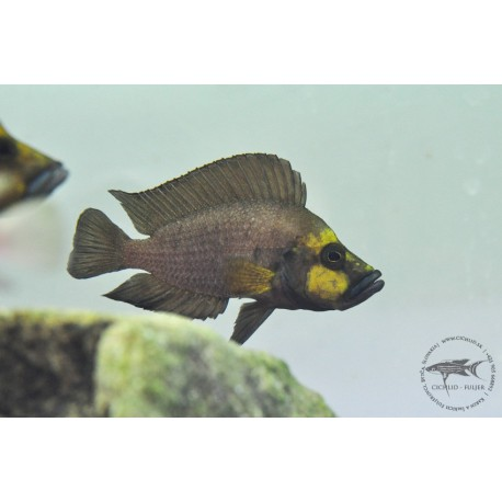 Altolamprologus compressiceps Muzi Gold head Very rare