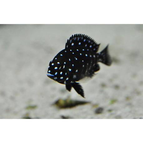 Tropheus dubois Maswa