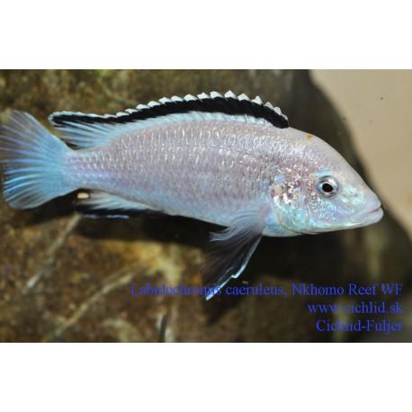 Labidochromis caeruleus Nkhomo Reef