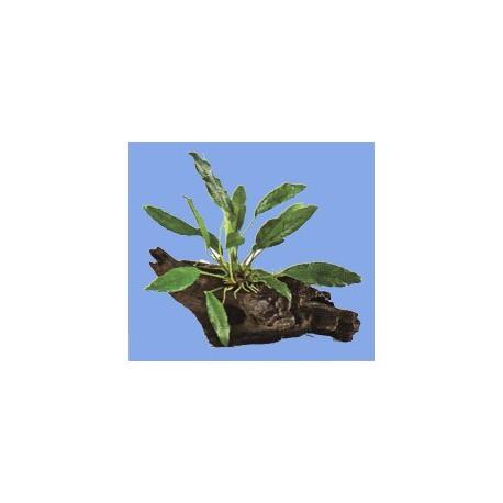 Anubias 1ks a dekoračný koreň
