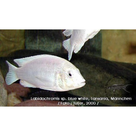 Labidochromis  sp. 'blue white' Tansania