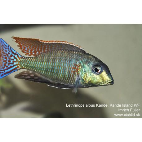 Lethrinops albus Kande, Kande Island F1