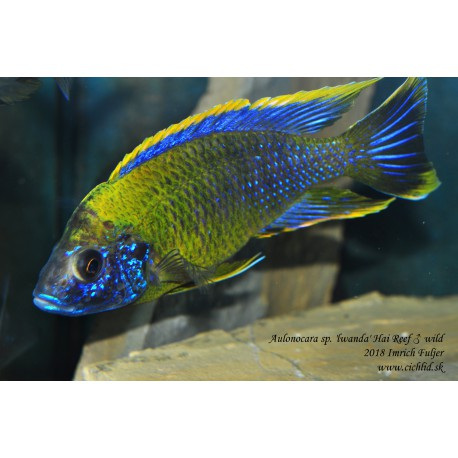 Aulonocara sp. 'lwanda' Hai Reef