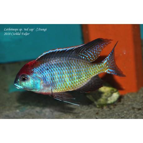 Lethrinops sp 'red cap' Itungi