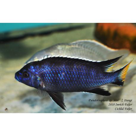 Pseudotropheus sp. 'acei' Itungi