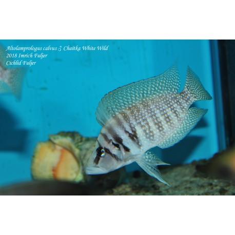 Altolamprologus calvus White Chaitika F1