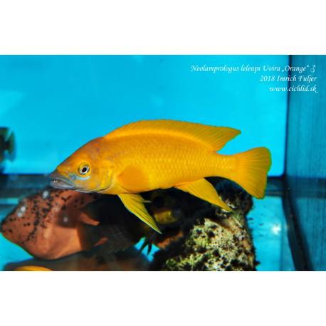 """Neolamprologus leleupi Uvira """"Orange"""""""