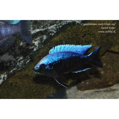 Copadichromis Ivory Undu Reef F1