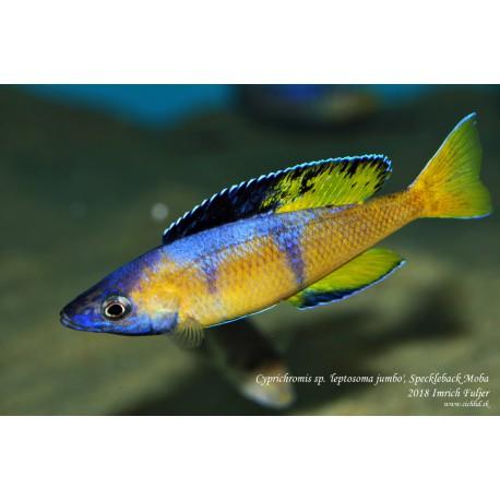 "Cyprichromis sp. "" l. jumbo "" Speckleback Moba F1"