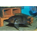Gnatochromis permaxilaris Kasanga
