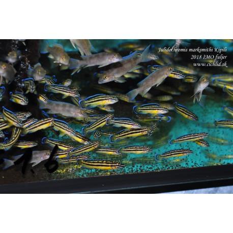 Julidochromis marksmithi Kipili