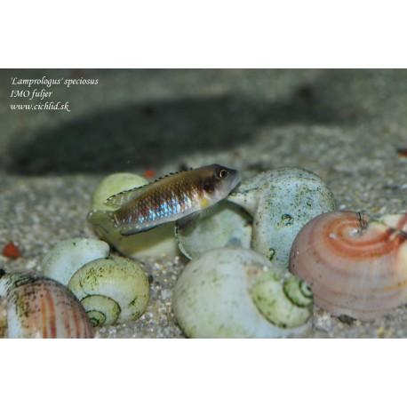 'Lamprologus' speciosus
