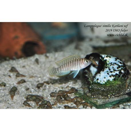 'Lamprologus' similis Karilani