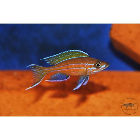 "Paracyprichromis nigripinnis Chituta bay ""Blue Neon"""