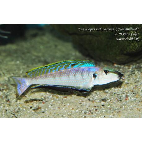 Enantiopus melanogenys Namansi