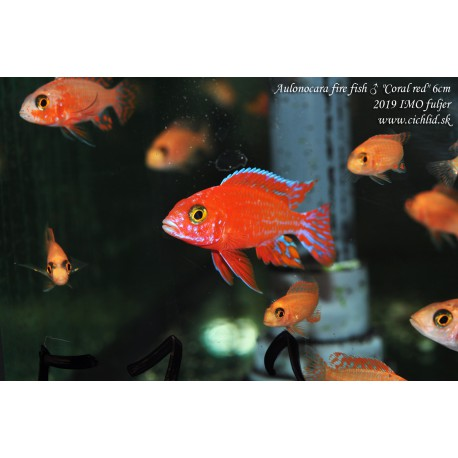 "Aulonocara fire fish ""Coral red"""