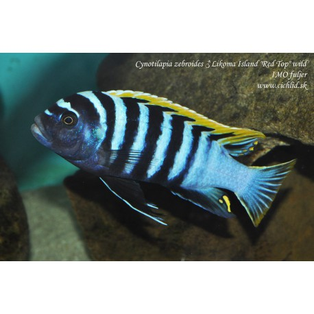 Cynotilapia afra Red Top Likoma