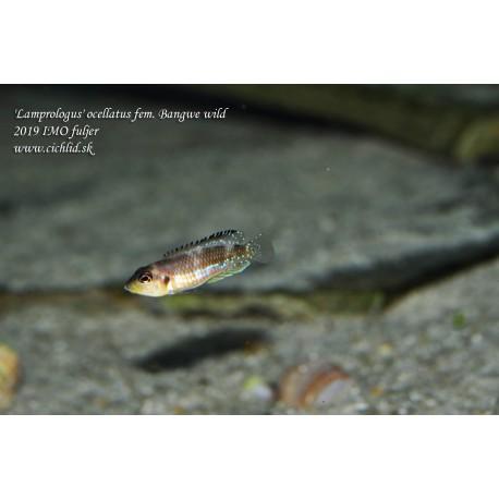 'Lamprologus' ocellatus Bangwe