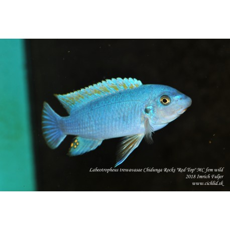 "Labeotropheus trewavasae Chidunga Rocks ""Red Top"" MC fem."