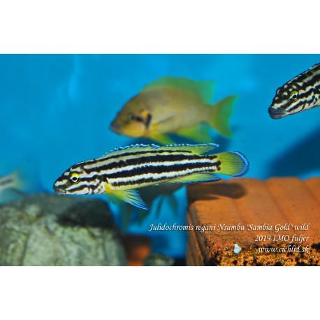 "Julidochromis regani Nsumbu ""Sambia Gold"""