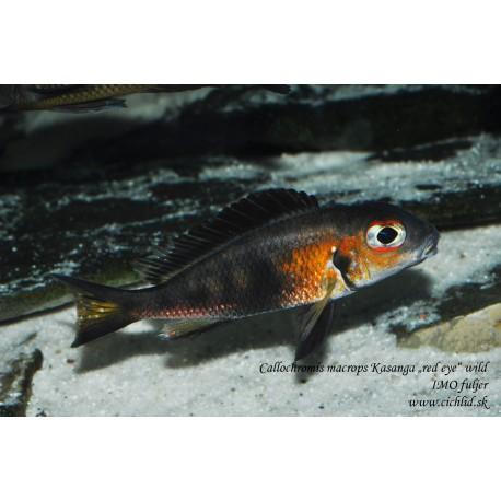 "Callochromis macrops Kasanga ""Red eye"""