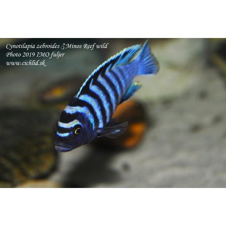 Cynotilapia zebroides Minos Reef