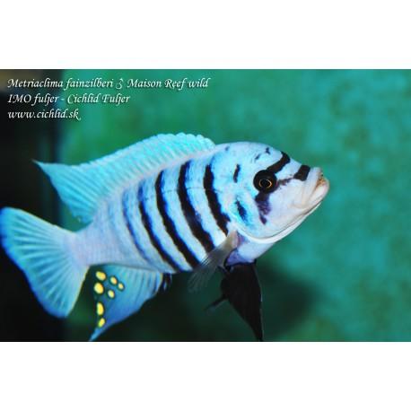 Metriaclima fainzilberi Maison Reef