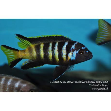 Pseudotropheus sp. elong. chailosi Chitande Island F1