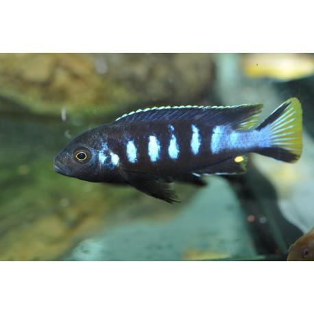 Metriaclima sp. 'elongatus chewere' Chewere