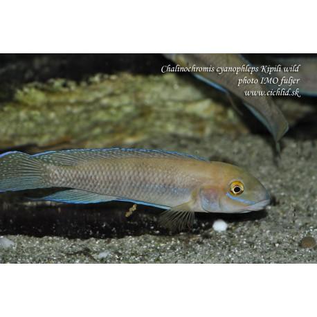 Chalinochromis cyanophleps Kipili