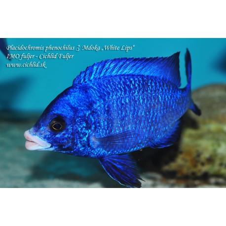 Placidochromis phenochilus Mdoka White Lips