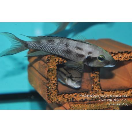 Neolamprologus furcifer Tanzania