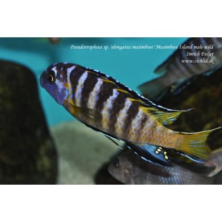 Pseudotropheus sp. 'elongatus masimbwe' Masimbwe Island