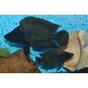 """Altolamprologus calvus Congo Moba """"Black Pectoral"""""""