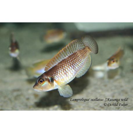 "'Lamprologus' ocellatus Kasanga ""Gold"""