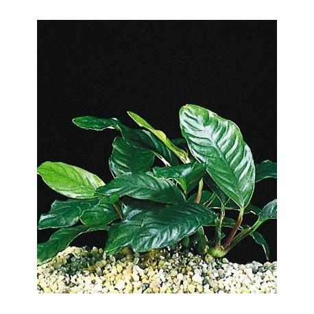 Anubias cofeifolia