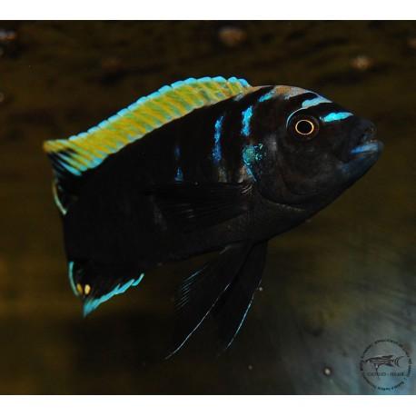 "Cynotilapia aurifrons "" Luwino Reef """