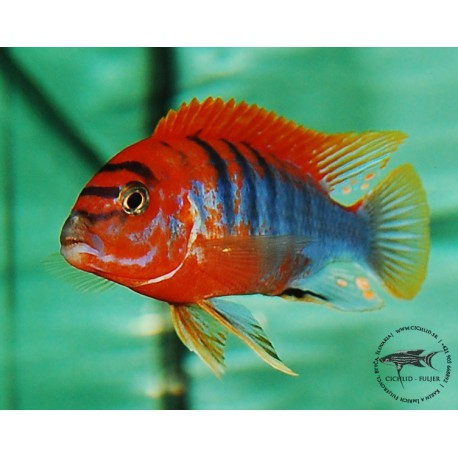 Labidochromis hongi sweden VERY RARE