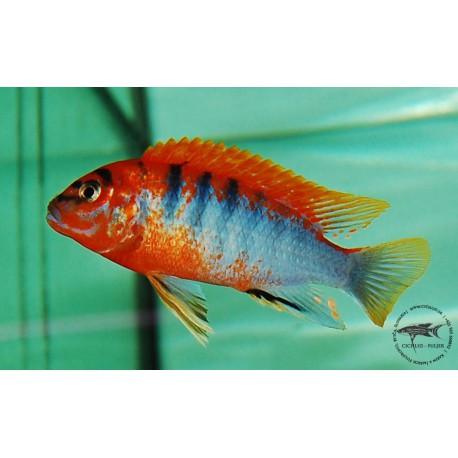 "Labidochromis hongi ""Sweden"""