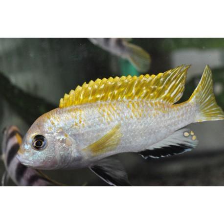 Labidochromis sp. perlmutt Higga Reef