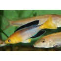 "Cyprichromis sp. 'leptosoma jumbo' Kekese ""Yellow head"""
