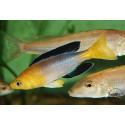 Cyprichromis sp. 'leptosoma jumbo' Yelow head Kekese