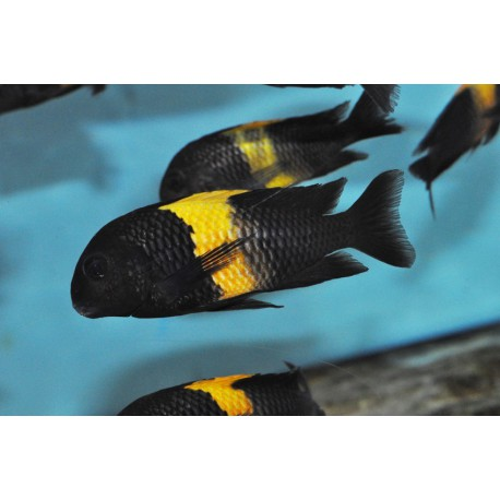 Tropheus sp. black Kiriza