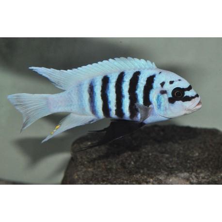 "Metriaclima sp. "" zebra chilumba "" Maison Reef RARE F1"