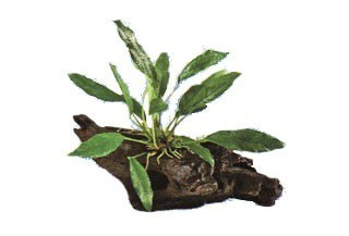 Rastliny do akvária ŽIVÉ