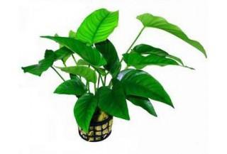 Rastliny do akvária