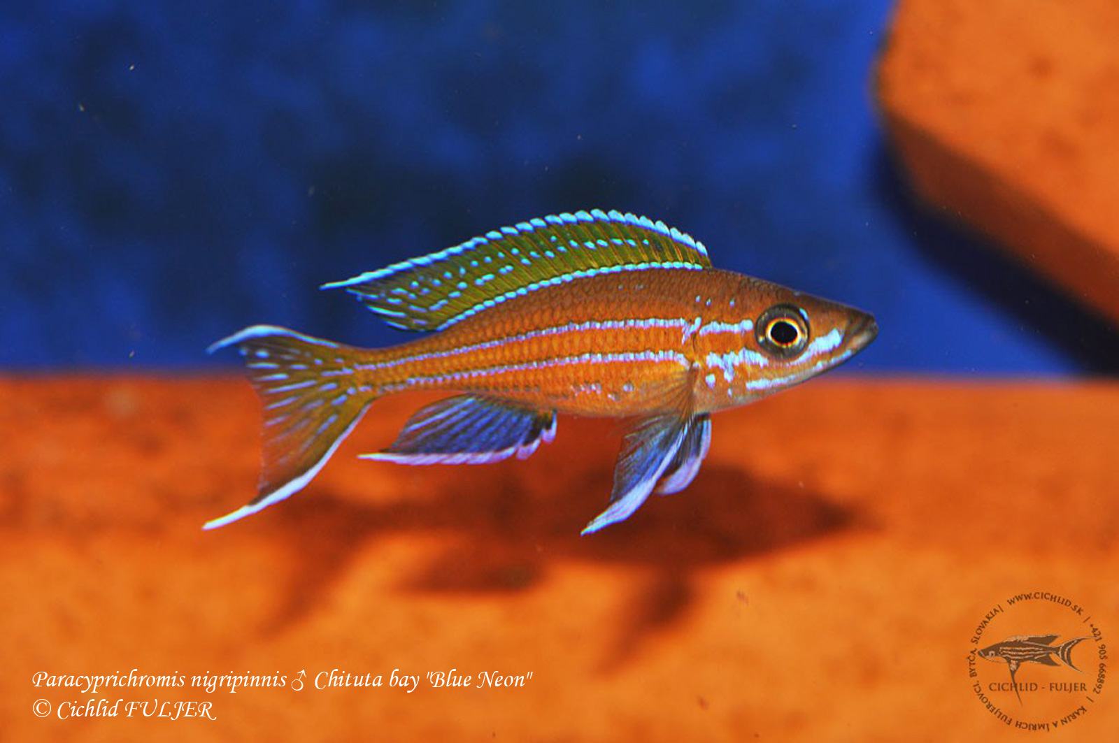 Paracyprichromis nigripinnis chituta bay