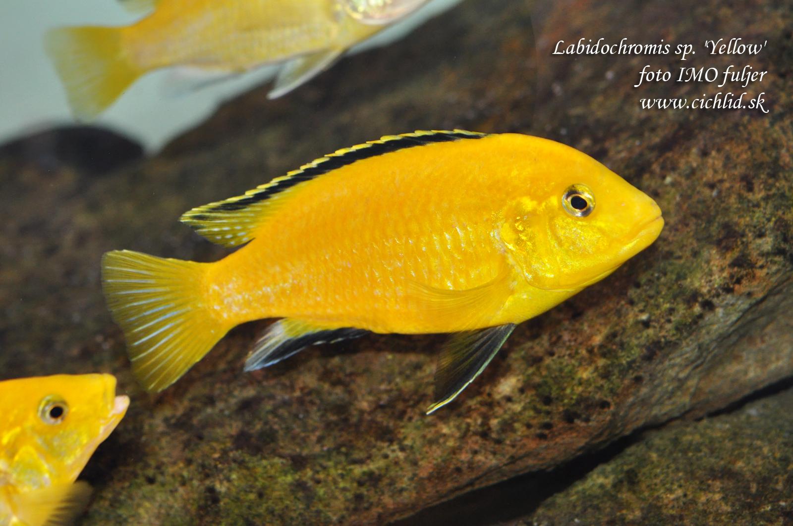 Labidochomis caerleus yellow